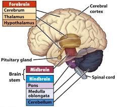 brain p.