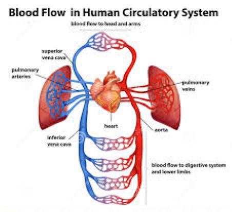 Circulatory System | Passnownow.com