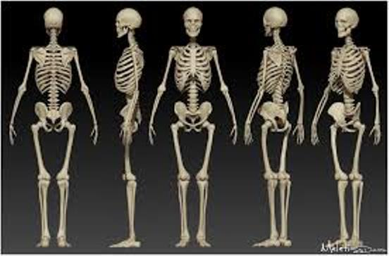 the human body (skeletal system and movement) | passnownow, Skeleton