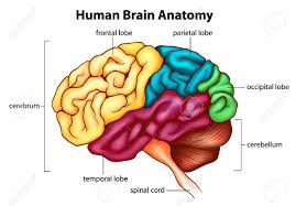 All about the brain passnownow the human brain is a complex organ that holds the most importance in the entire human body the brain weighs just 3 pounds but is responsible for ccuart Choice Image