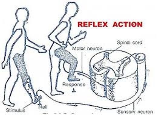 Biology Reflex And Voluntary Actions