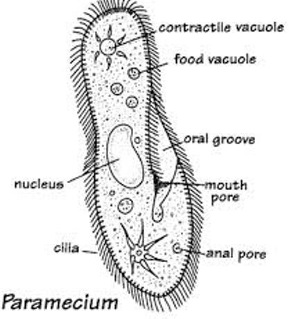 Asexual reproduction in paramecium caudatum label